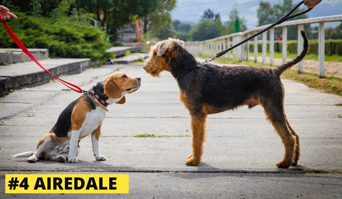 airedale and beagle