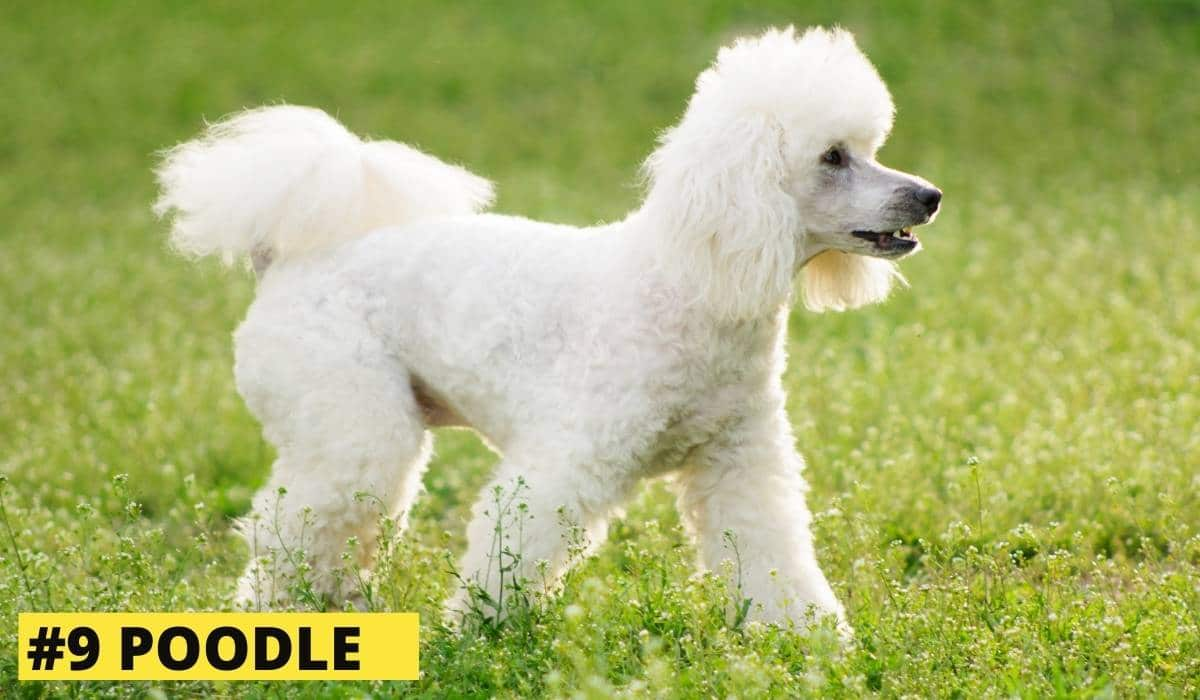 while poodle