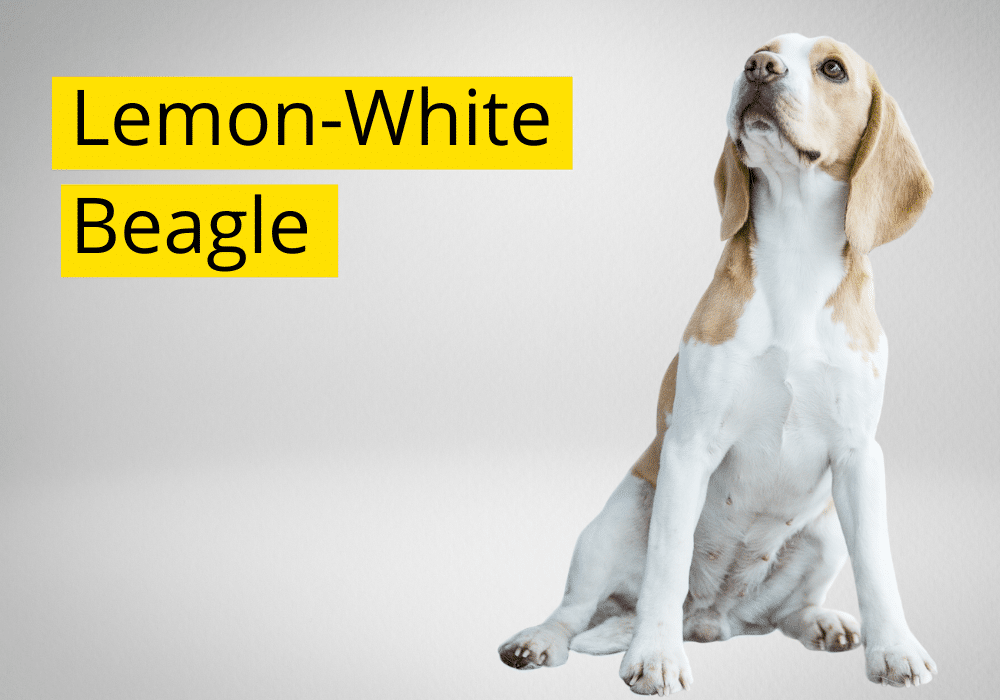Lemon White beagle