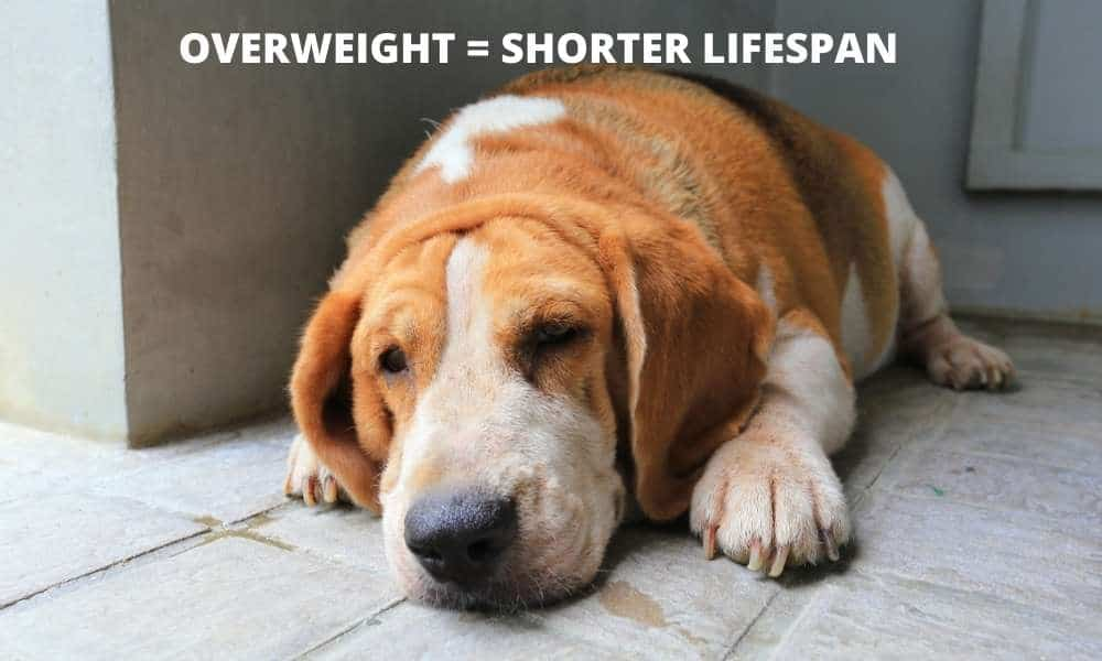 unhealthy overweight beagle