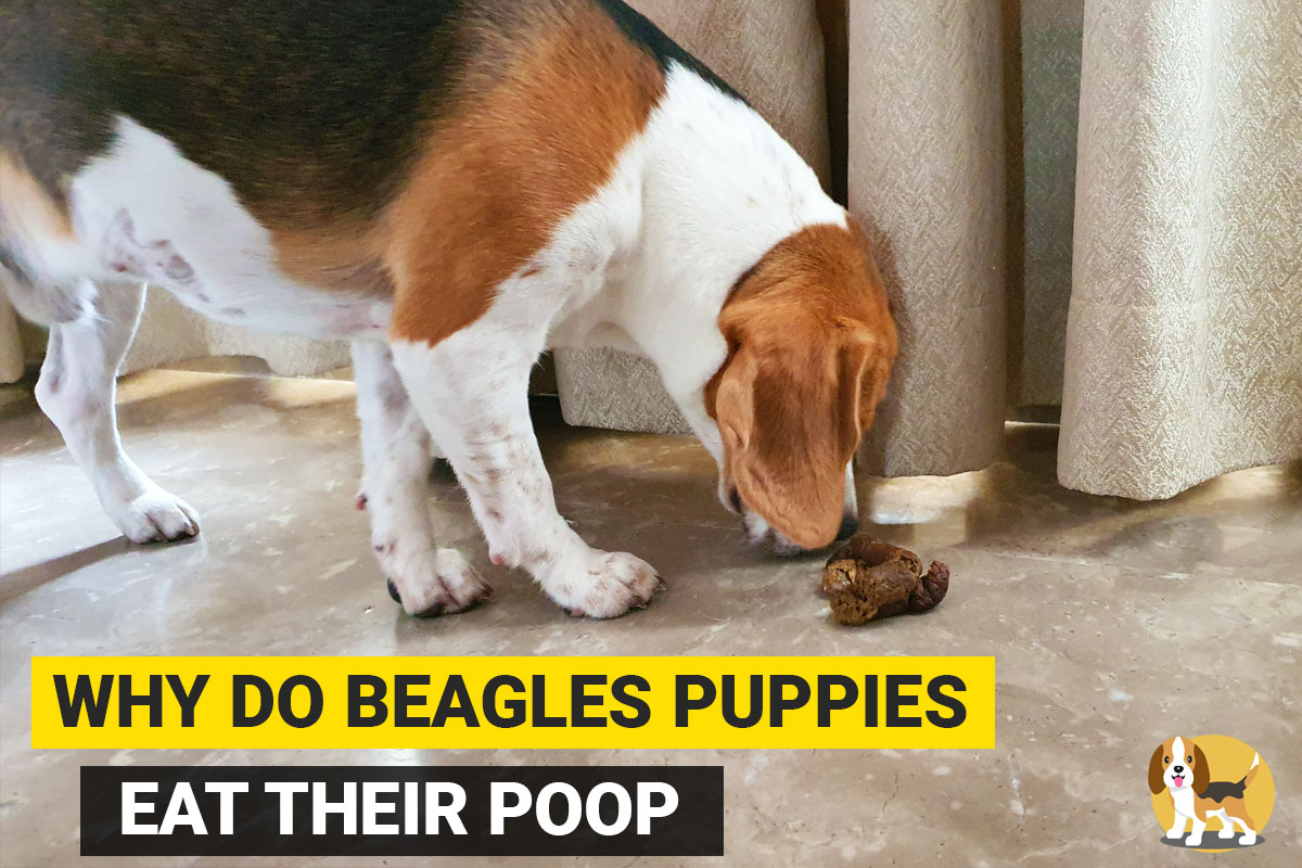 beagle puppy eating his poop