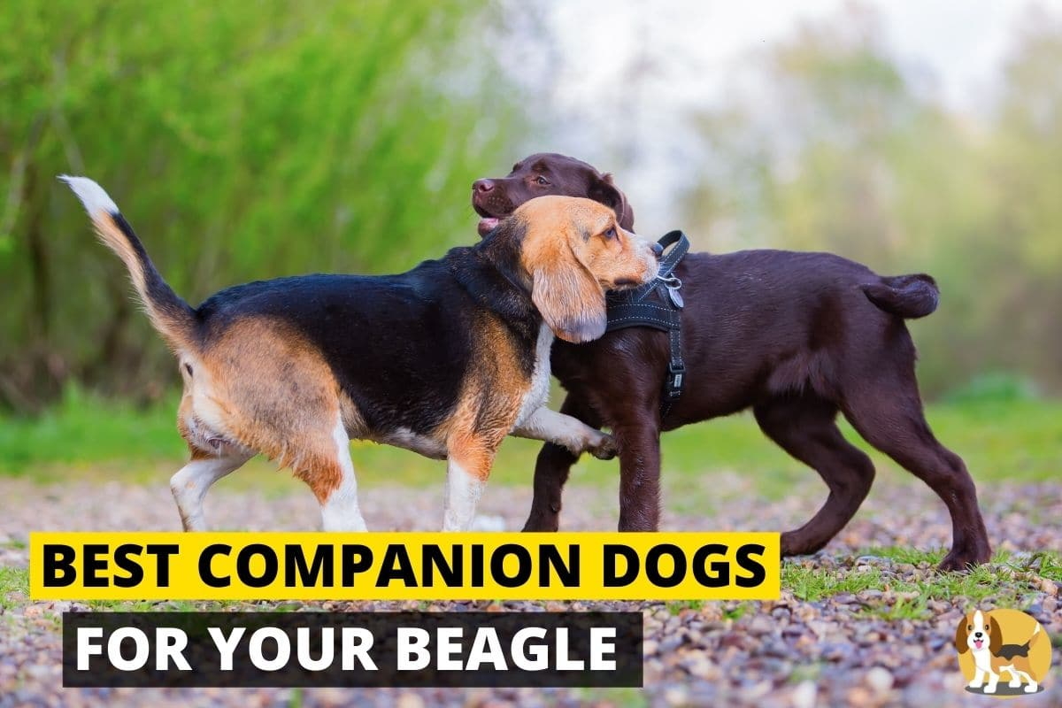 Companion of a beagle