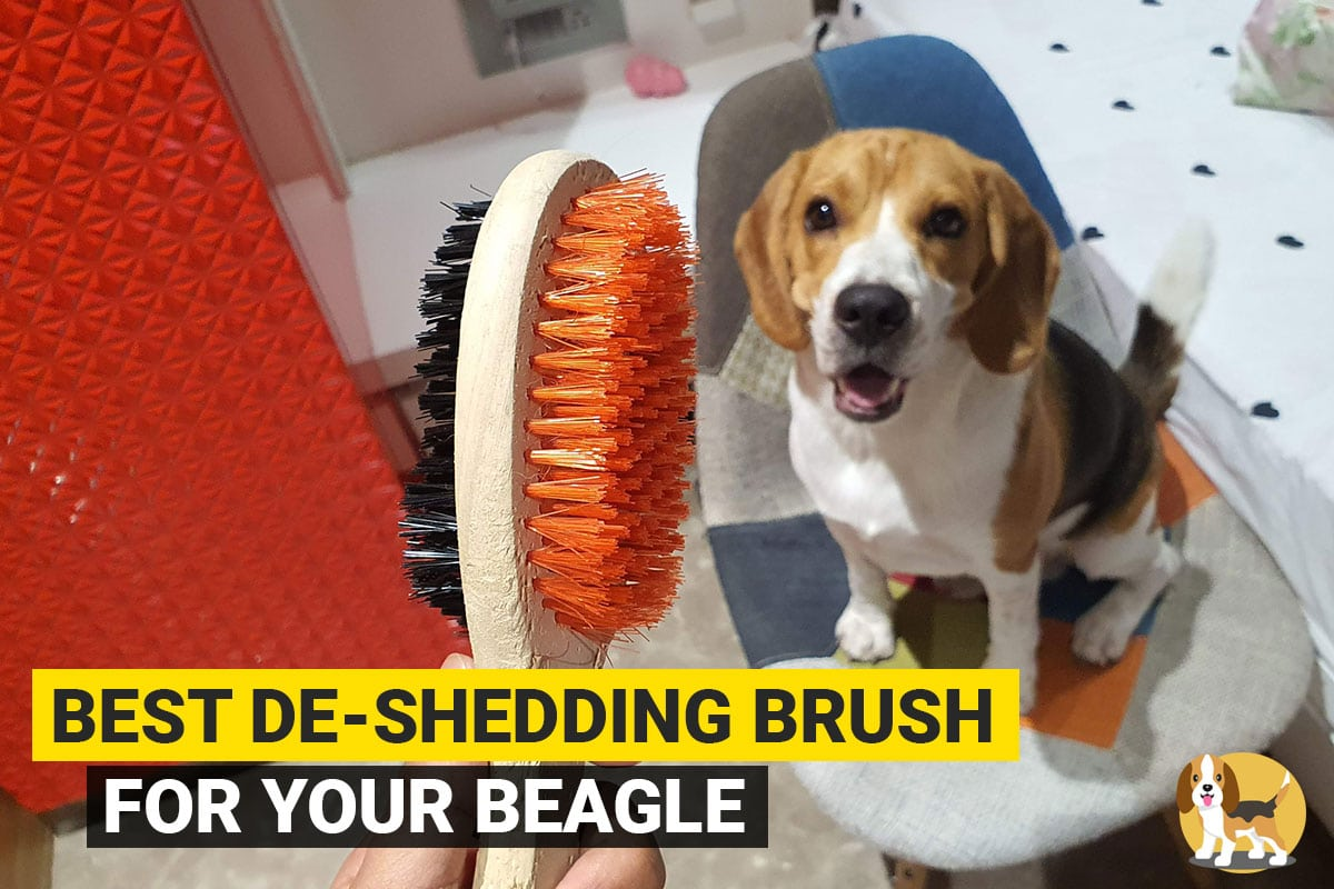 Beagle and deshedding brush