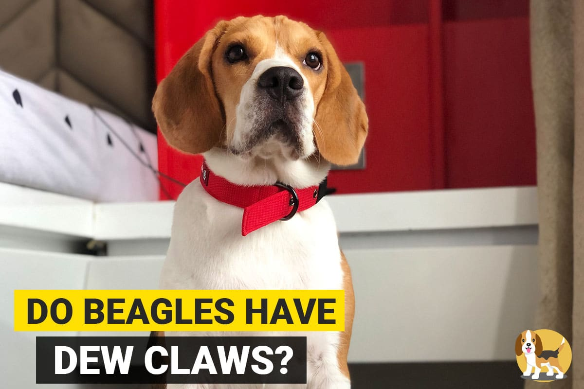 Do Beagles have Dewclaws