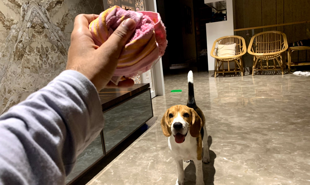 Beagle puppy excited for his Frozen Towel