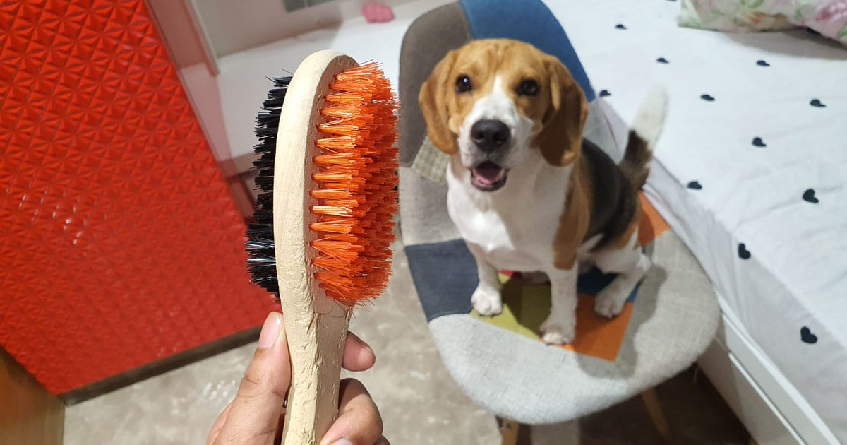 Grooming brush of a beagle
