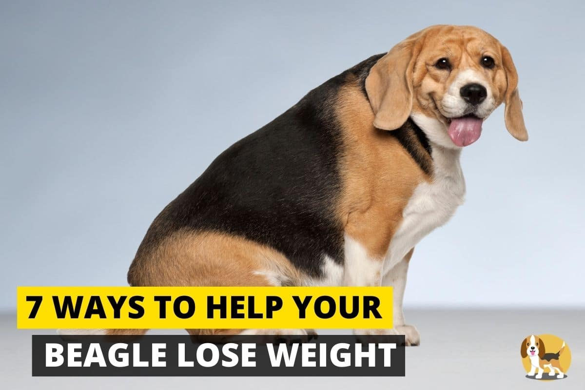 Overweight beagle