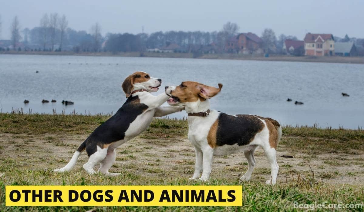 Beagle scared of other dogs