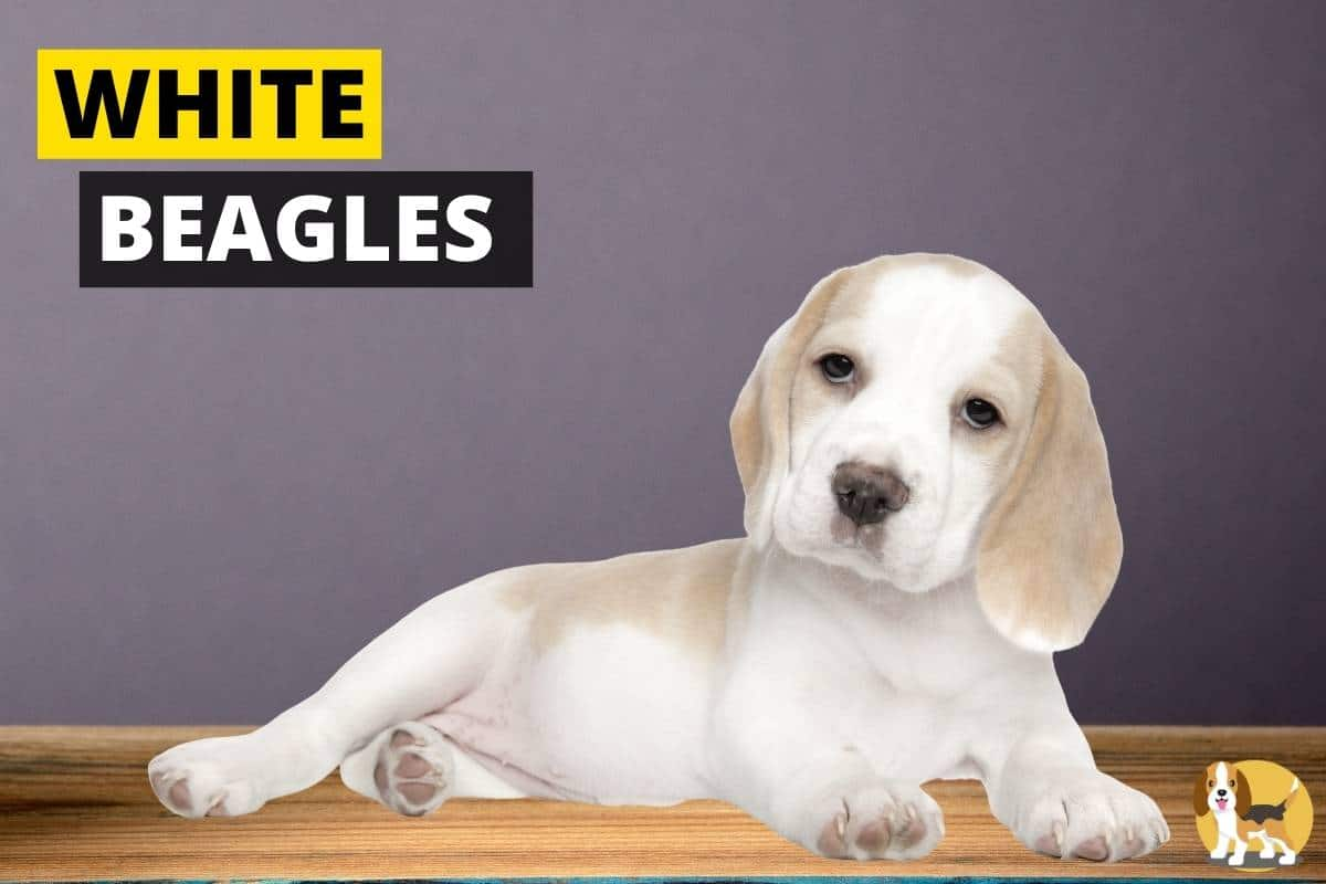 White Beagles
