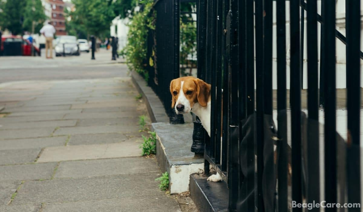 beagle escaping fence
