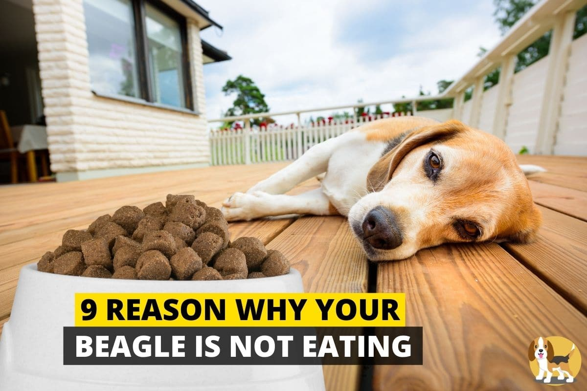 Beagle not eating food