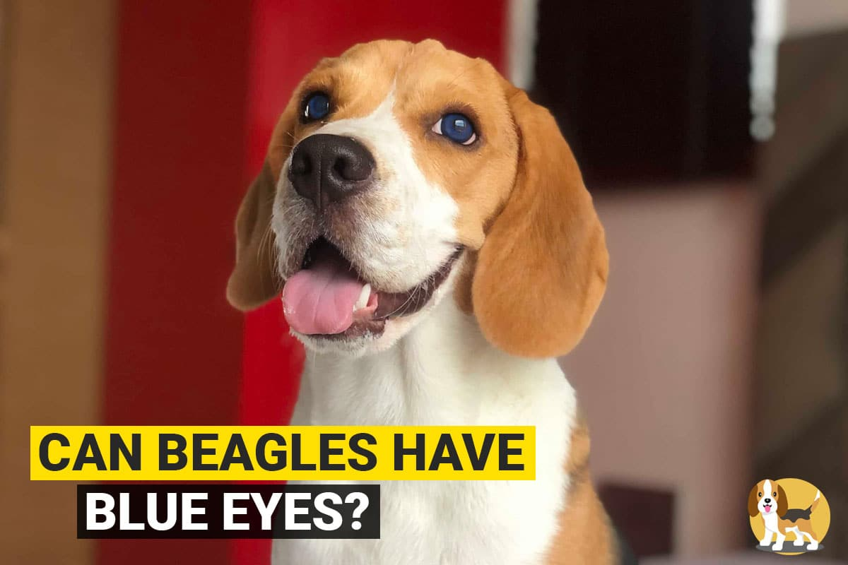 Beagle with blue eyes
