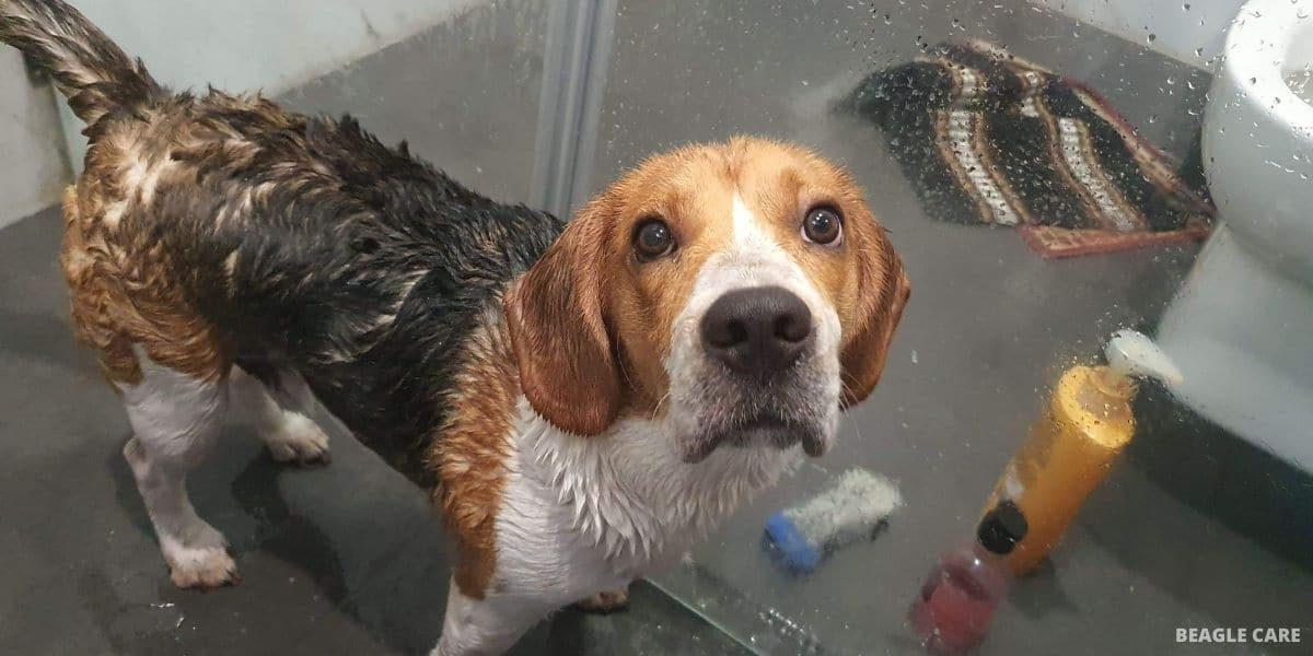 Beagle bathing
