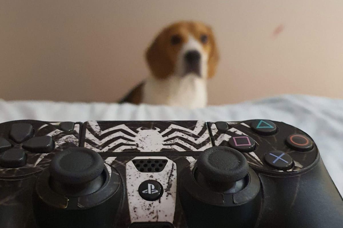 beagle getting jealous of video games
