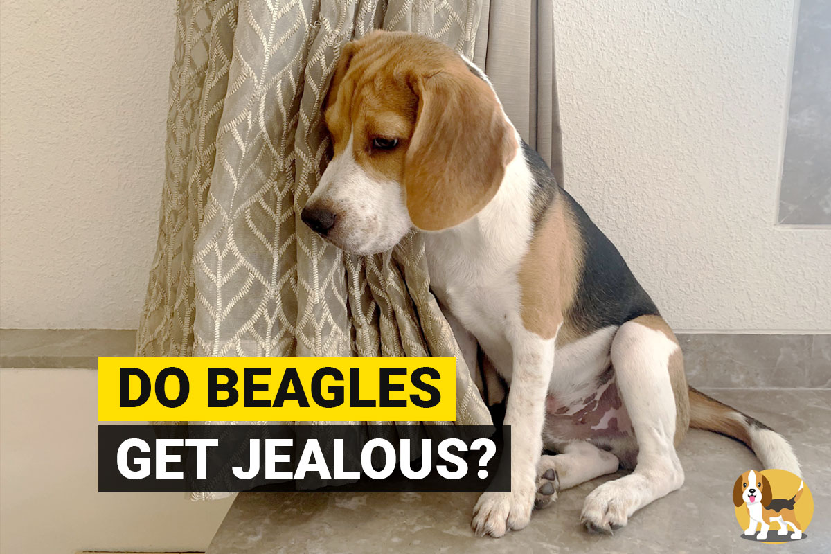 Beagle getting jealous
