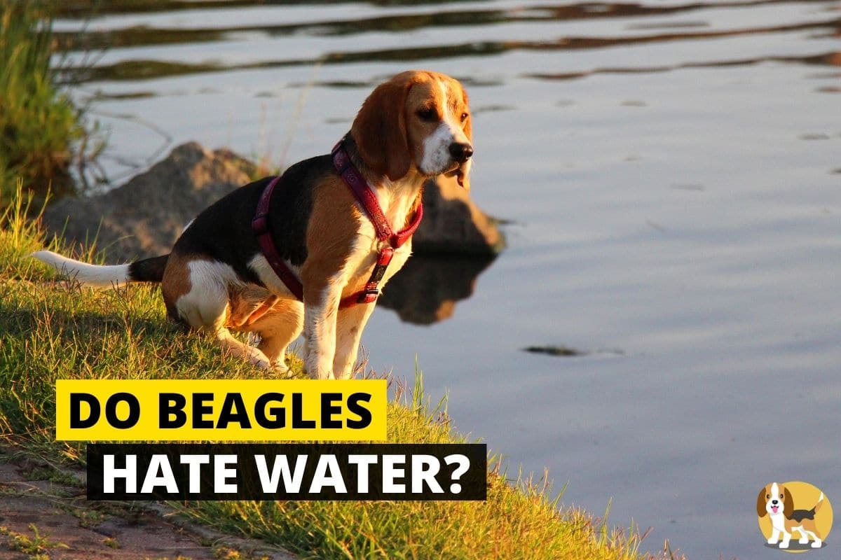 Beagle standing next to water