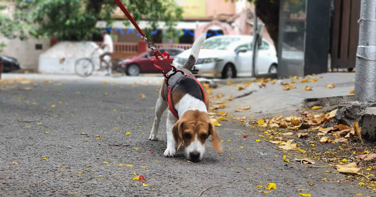 Beagle on a walk for exercising