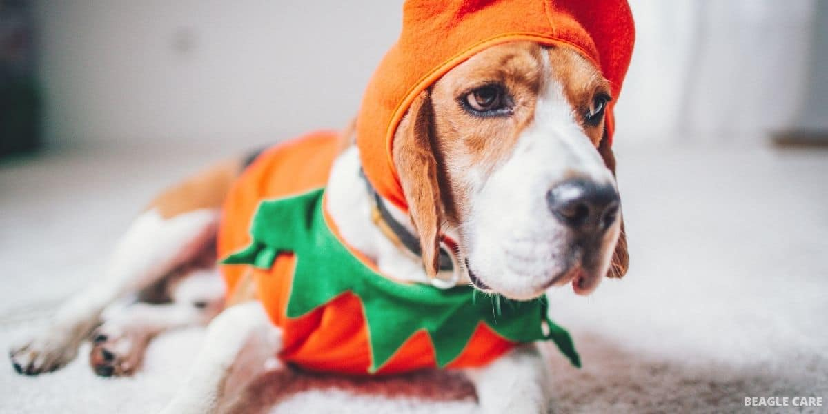 beagle wearing clothes