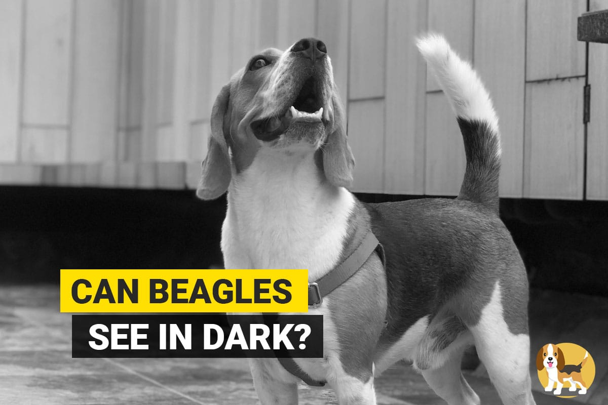 Beagle standing in dark