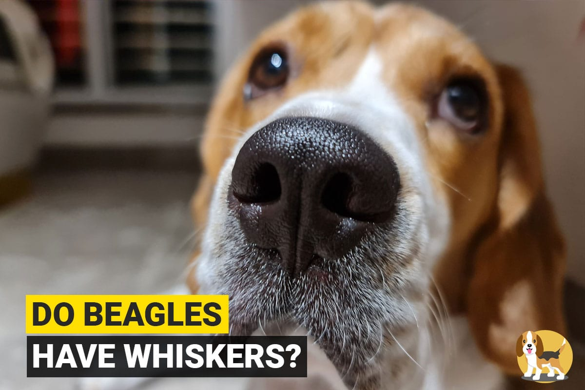do beagles have whiskers