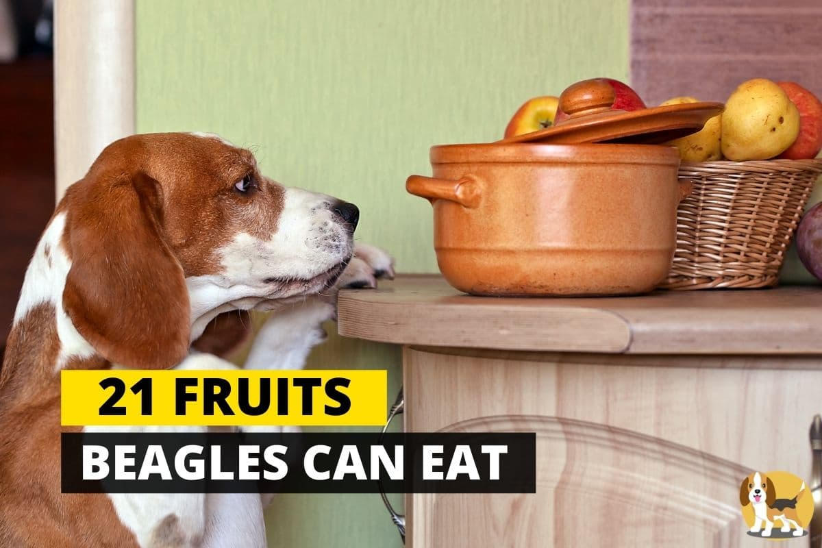 beagle looking at a fruit basket