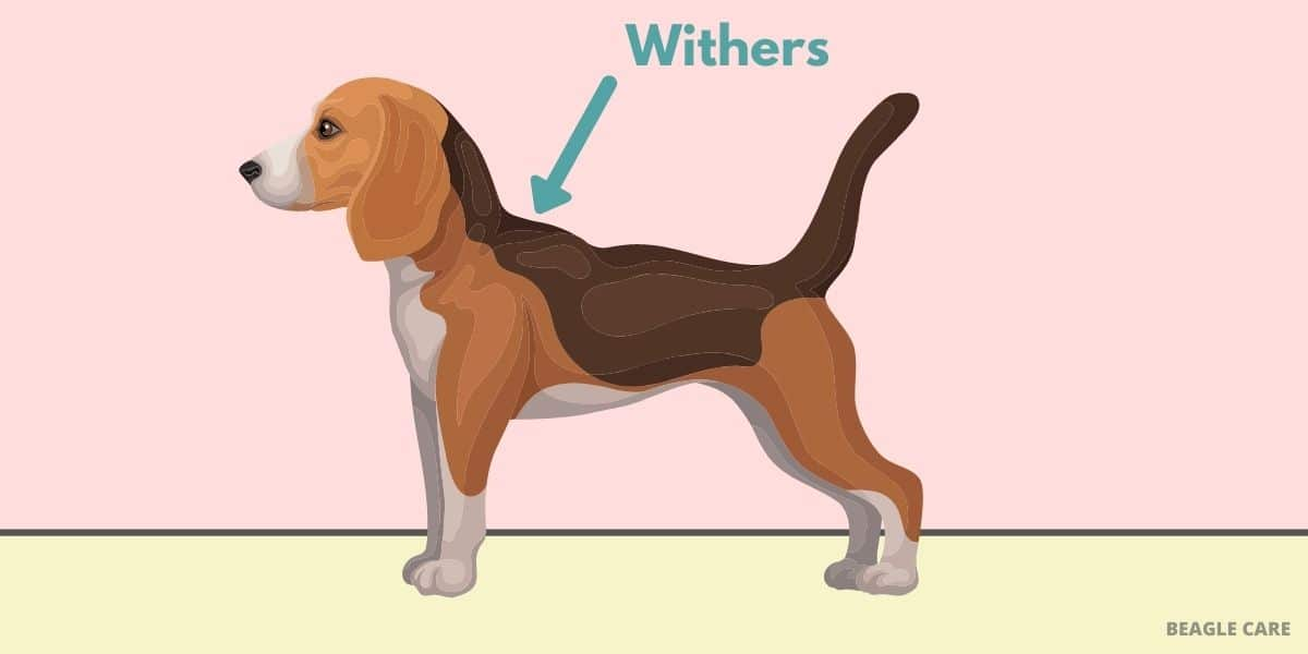 withers of a beagle