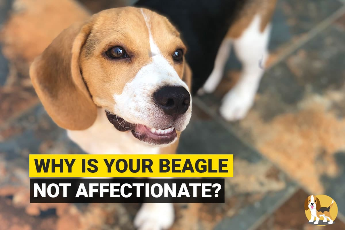 beagle not affectionate toward owners