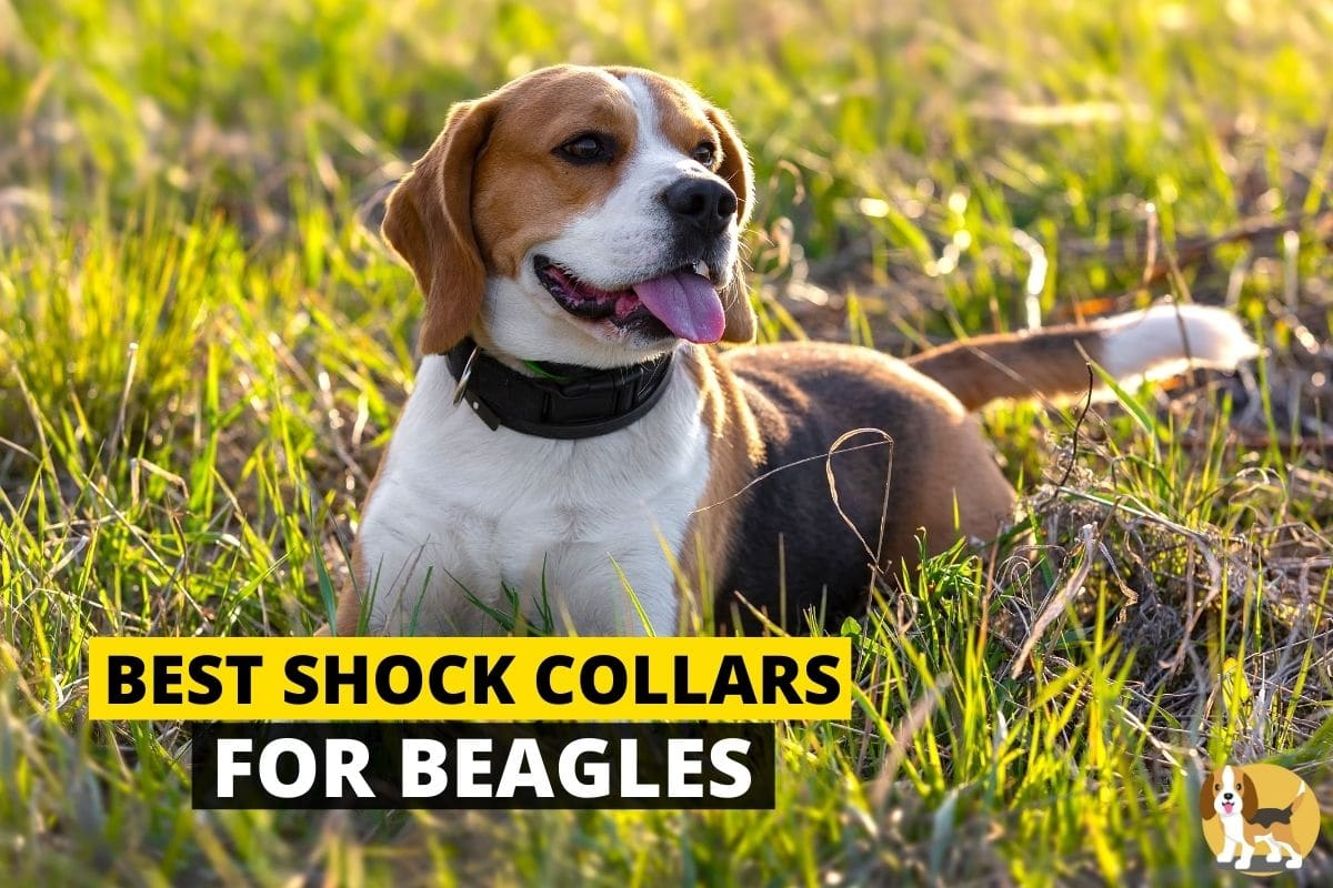 beagle wearing a shock collar