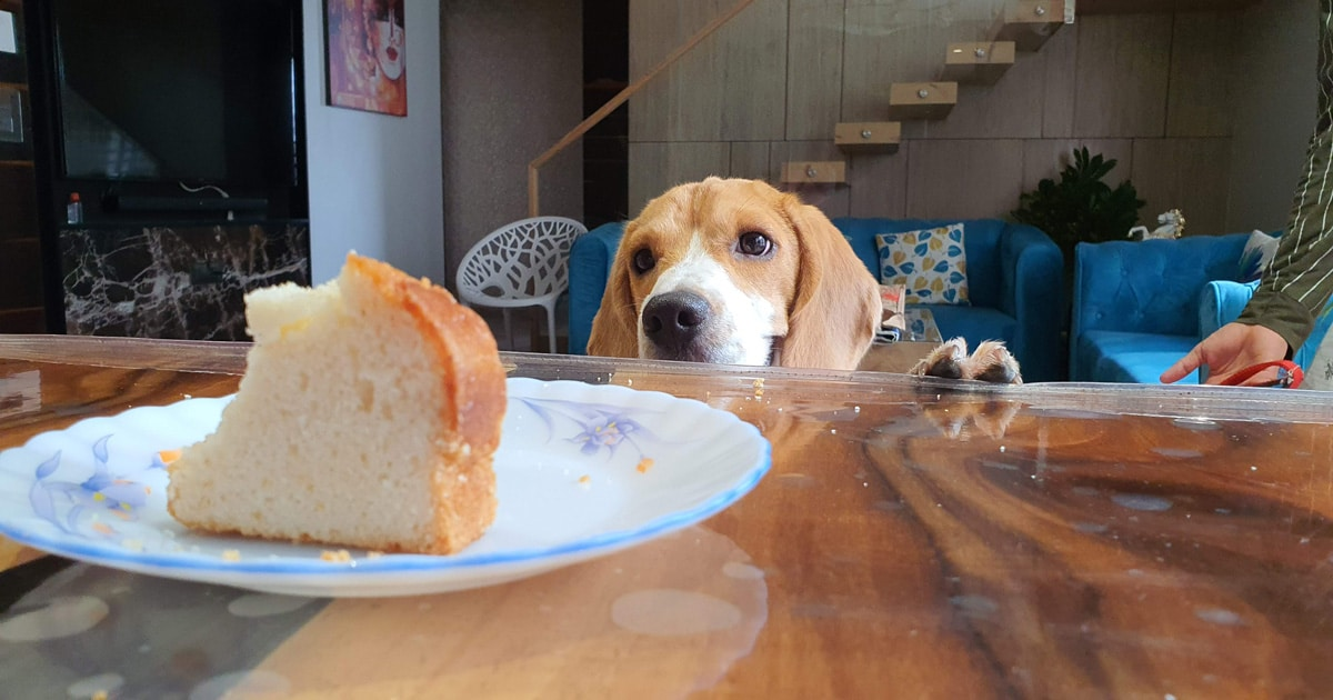beagle looking at table scraps
