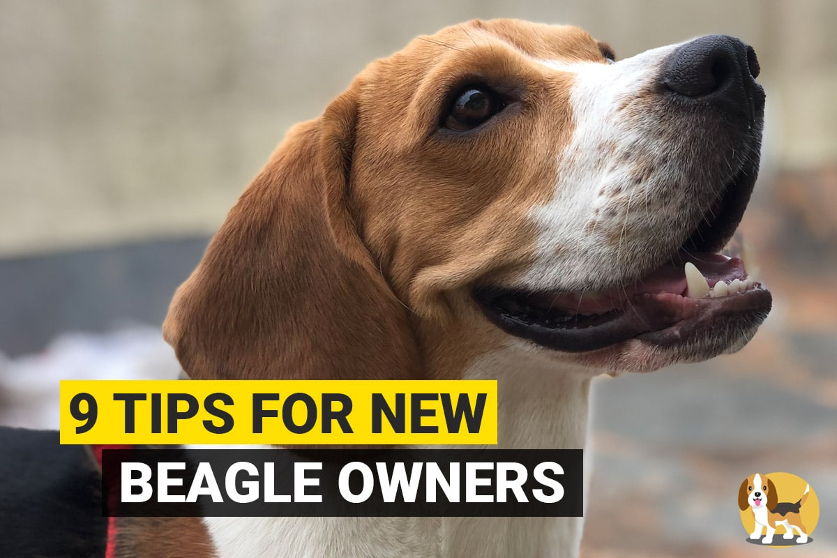 Tips for beagle owners