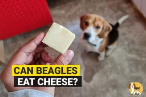 beagle waiting to eat cheese