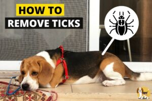 remove ticks from beagle