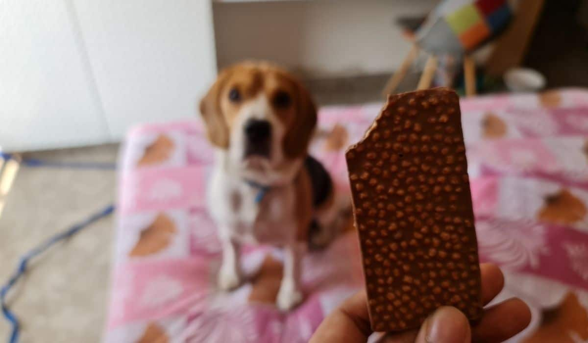 beagle ate a piece of chocolate