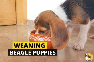 weaning beagle puppies