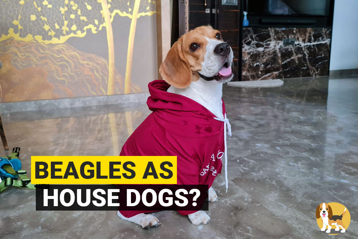 beagle in a house
