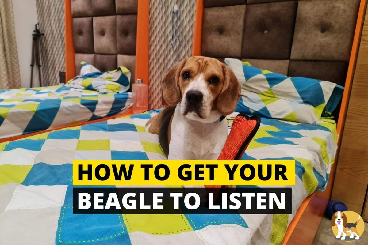 make your beagle listen to you