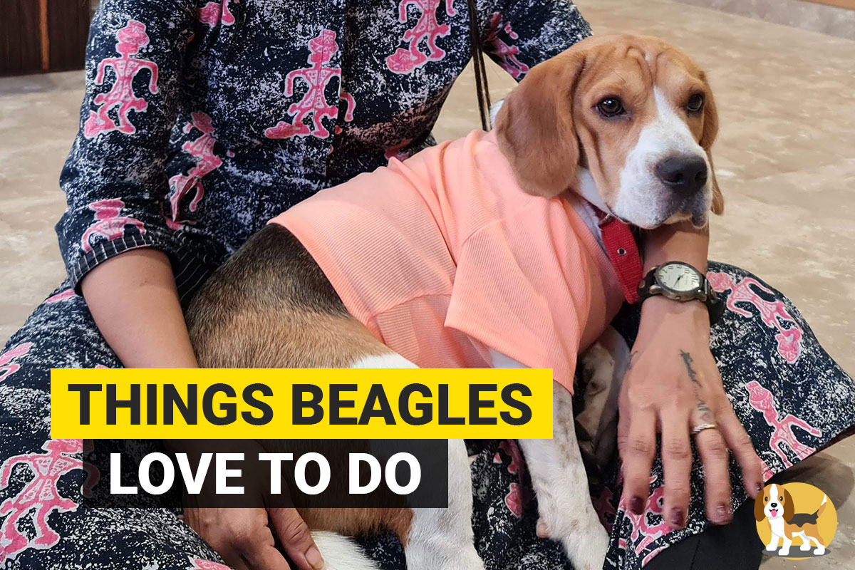 things beagles love to do
