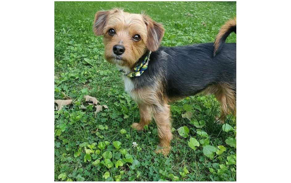 borkie - beagle and Yorkshire Terrier Mix
