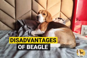 disadvantages of owning a beagle