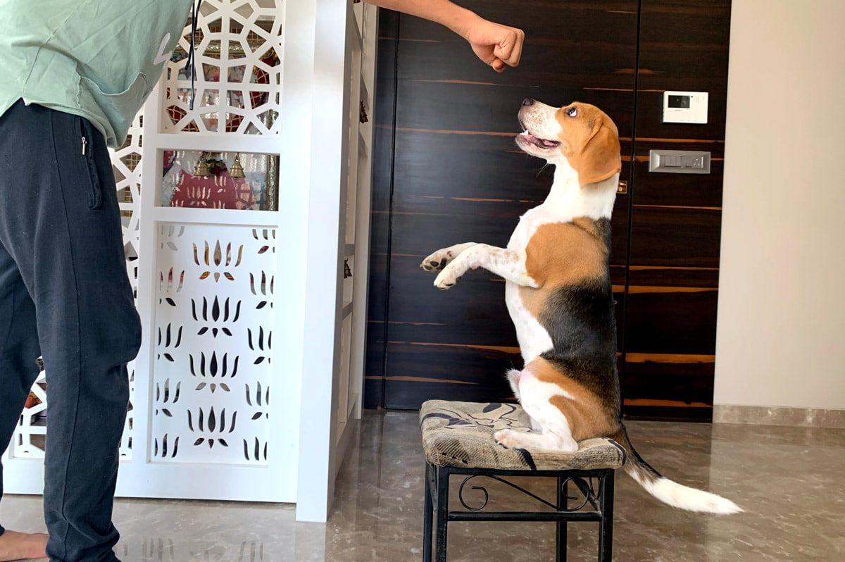 Playing with beagle