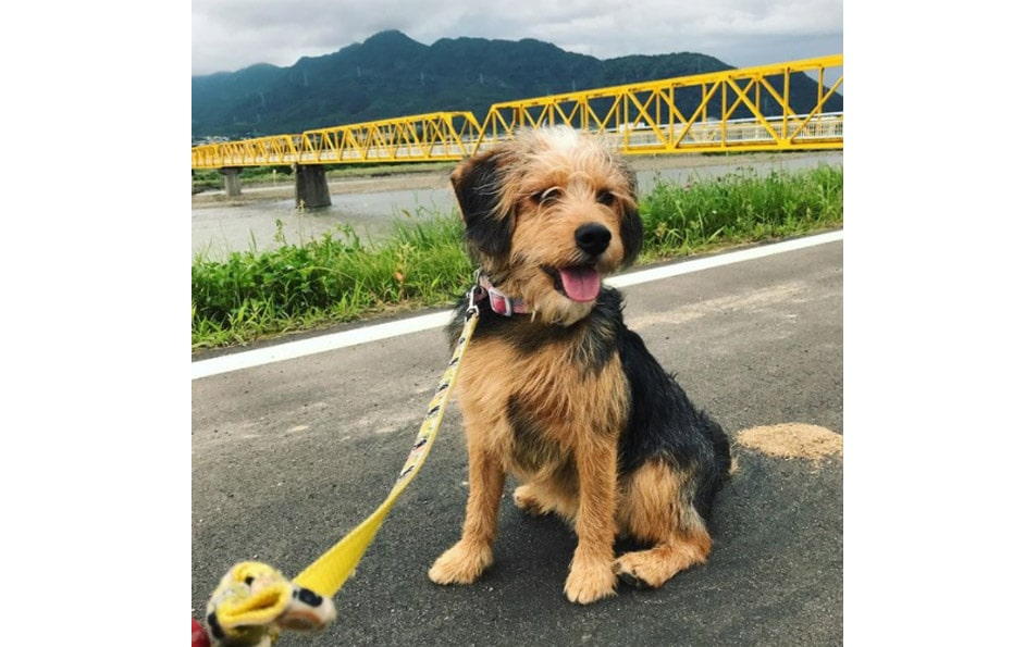 poogle beagle and poodle mix